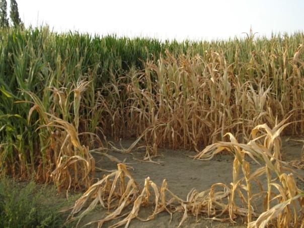 Figura 1: foto che illustra cosa accade alle coltivazioni in corrispondenza delle chiazze subcircolari caratterizzate da elevate temperature. La coltivazione cresce più velocemente, ma poi viene bruciata dal calore presente nei livelli più superficiali del suolo.